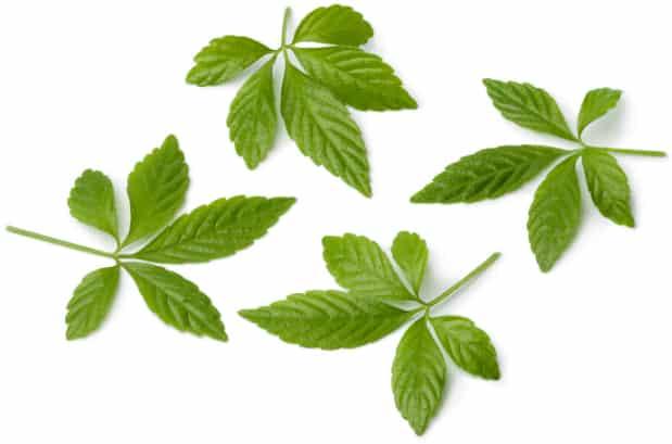 Jiaogulan Blätter
